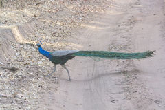 Peacock Crossing a Rural Road Royalty Free Stock Images