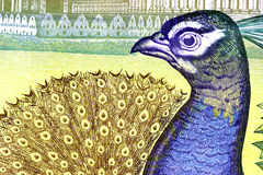 Peacock on Currency Note royalty free stock photography