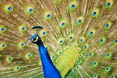 Peacock dance Royalty Free Stock Image