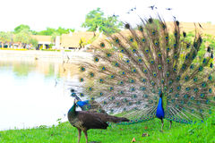 Peacock dance Royalty Free Stock Photo