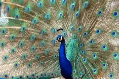 Peacock dance attracting peahen Stock Photo