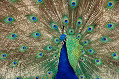 Free Peacock Dance Closeup Stock Photography - 5485602