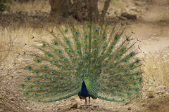 Peacock dance Stock Image
