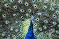 Peacock Dancing Stock Image