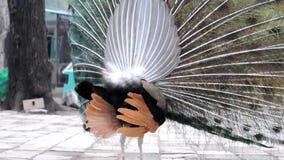 Peacock dancing stock video footage