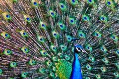 Peacock dancing royalty free stock images