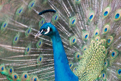 Peacock. A dancing peacock unfurling withs feathers Stock Photo