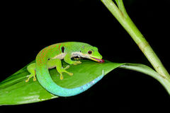 Peacock day gecko, phelsuma quadriocellata Royalty Free Stock Image