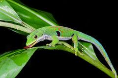 Peacock day gecko, phelsuma quadriocellata Royalty Free Stock Images