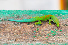 Peacock day gecko Stock Image