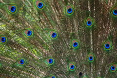 Peacock detail Royalty Free Stock Photography