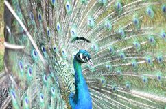Peacock. Detail of peacock head and his colorful feather fully opened Royalty Free Stock Images