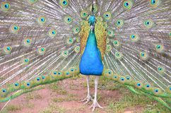 Peacock. Detail of peacock and his colorful feather fully opened Stock Photo