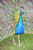 Peacock. Detail of peacock and his colorful feather fully opened Stock Images