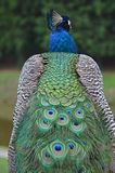 Peacock. Detail of peacock from tha back and his beautiful feather Royalty Free Stock Photos