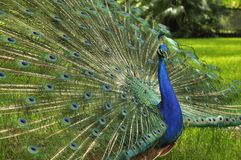 Peacock Display. Peacock with open tail showing plumage royalty free stock photo