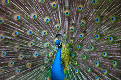 Peacock Display. Close up of a male peacock displaying its stunning tail feathers Royalty Free Stock Image