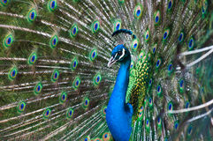 Peacock Display. Close up of a male peacock displaying its stunning tail feathers Stock Images