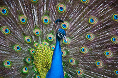 Peacock Display. Close up of a male peacock displaying its stunning tail feathers Royalty Free Stock Photos