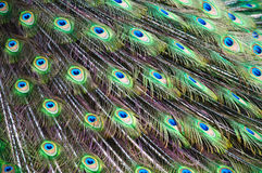 Peacock Display. Close up of a male peacock displaying its stunning tail feathers Stock Image