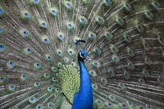 A peacock display Royalty Free Stock Image