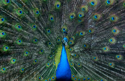 Peacock display Stock Images