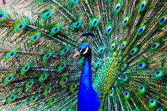 Peacock on display. Photograph of a male peacock displaying his feathers Stock Image