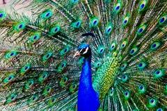 Peacock on display Stock Image