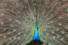 Peacock Display Stock Photography