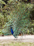 Peacock on Display. Bright blue and green peacock with feathers on full display Royalty Free Stock Photos