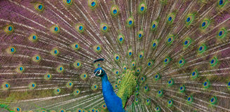 Peacock display. Close up view of a peacock showing feathers Royalty Free Stock Photos