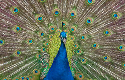 Peacock display. Close up view of a peacock showing feathers Stock Photography