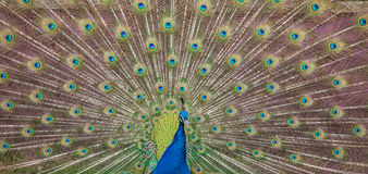 Peacock display. Close up view of a peacock showing feathers Stock Images