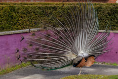 Peacock display. Close up view of a peacock showing feathers Stock Photo