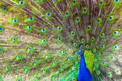 Peacock display. The feather patterns on a peacock in full display Stock Photos