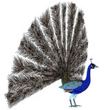 Peacock Display. A male Peacock bird displays his tail feathers in a courtship ritual for the species Stock Photos
