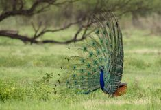 Peacock display. National animal of India. Beautiful feather display to attract females. Shot in Bharatpur rajasthan Royalty Free Stock Images
