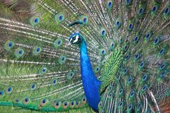 Peacock on Display. Peacock displaying his tail feathers Royalty Free Stock Images