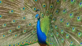 Peacock on display. Peacock displaying its tail to a female Stock Image