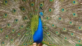 Peacock on display. Peacock displaying its tail to the females Stock Photography