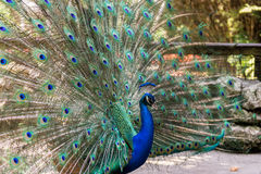 Peacock display Stock Photo