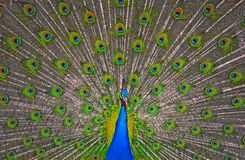 Peacock display. A peacock proudly displays his courtship feathers Royalty Free Stock Photography