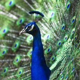 Peacock display. Peacock showing it's feathers Royalty Free Stock Photography