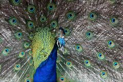 Peacock Display Stock Photos