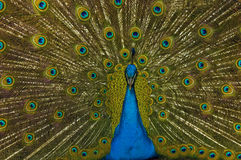 Peacock displaying. A beautiful male peacock displaying its feathers royalty free stock images
