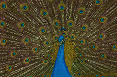 Peacock displaying Stock Photography