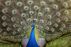 Peacock displaying. A beautiful male peacock displaying its feathers stock photography