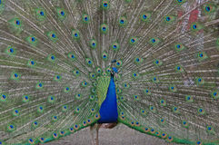 Peacock displaying Royalty Free Stock Photo