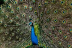 Peacock displaying colorful tail feathers. Peacock displaying its brilliant tail feathers in fan behind the bright blue body royalty free stock photo