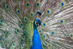 Peacock displaying feathers Royalty Free Stock Photos